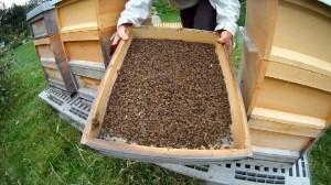 Bienenvolk verhungert