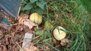 Honigmelonen Anbau im Gewaechshaus