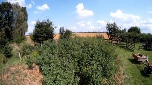 verunkrautetes Weizenfeld