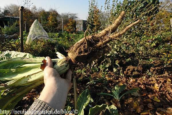 Berühmt Chicoree im Garten anbauen und Treiben, nichts einfacher als das #XH_58